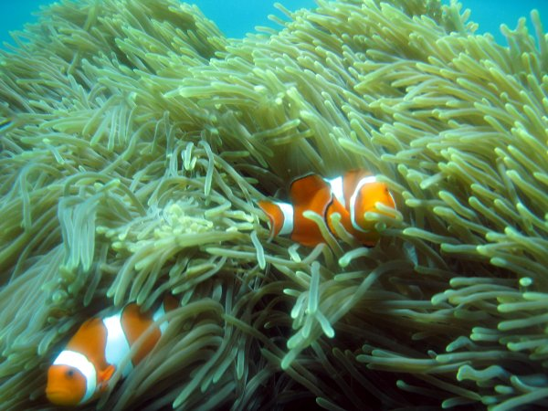 Amphiprion_ocellaris