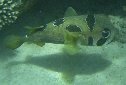 Triggerfish, Boxfish, Pufferfish, Porcupinefish