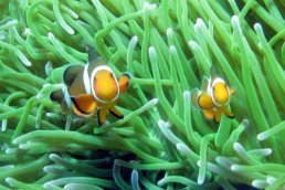 Clown Anemonefish Amphiprion ocellaris
