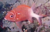 White-blotch Squirrelfish